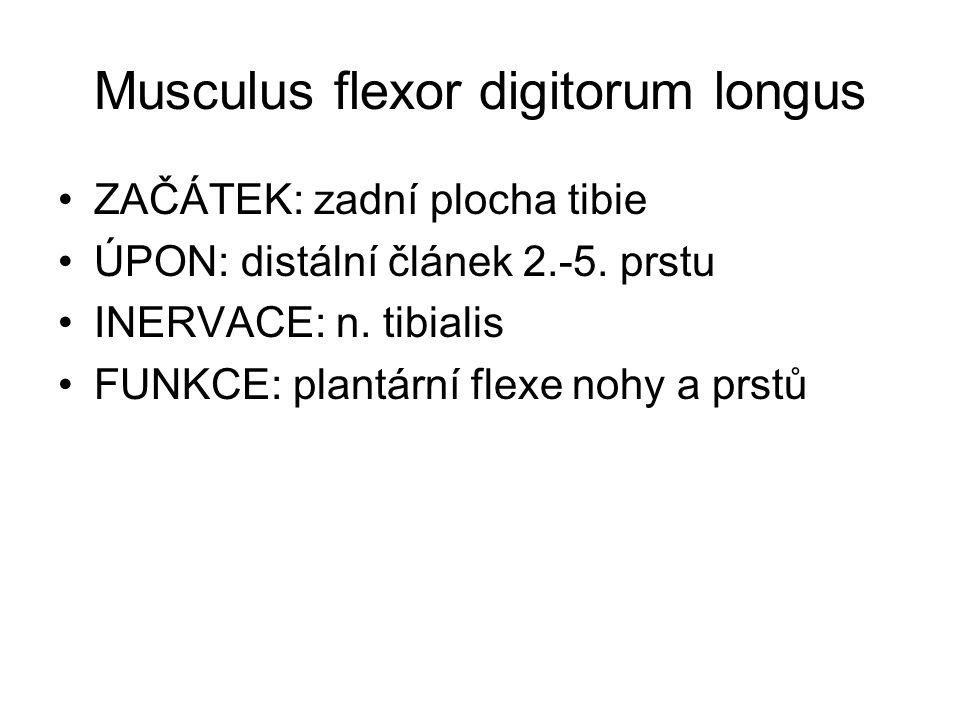 Musculus flexor digitorum longus