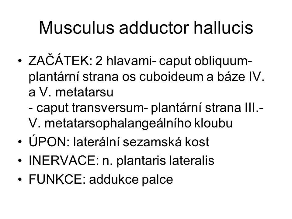 Musculus adductor hallucis