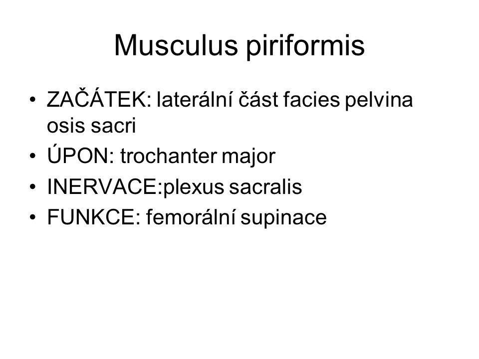 Musculus piriformis ZAČÁTEK: laterální část facies pelvina osis sacri