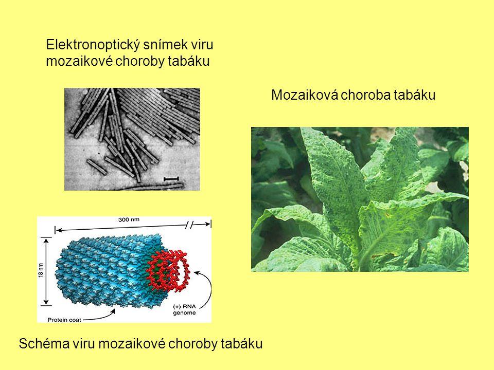 Elektronoptický snímek viru mozaikové choroby tabáku