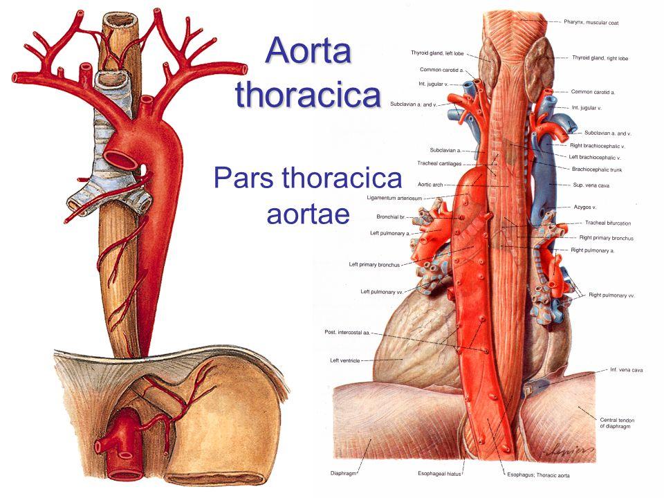 Aorta thoracica Pars thoracica aortae