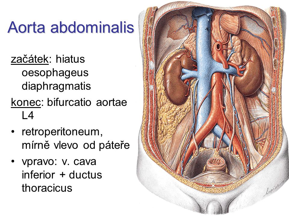 Aorta abdominalis začátek: hiatus oesophageus diaphragmatis