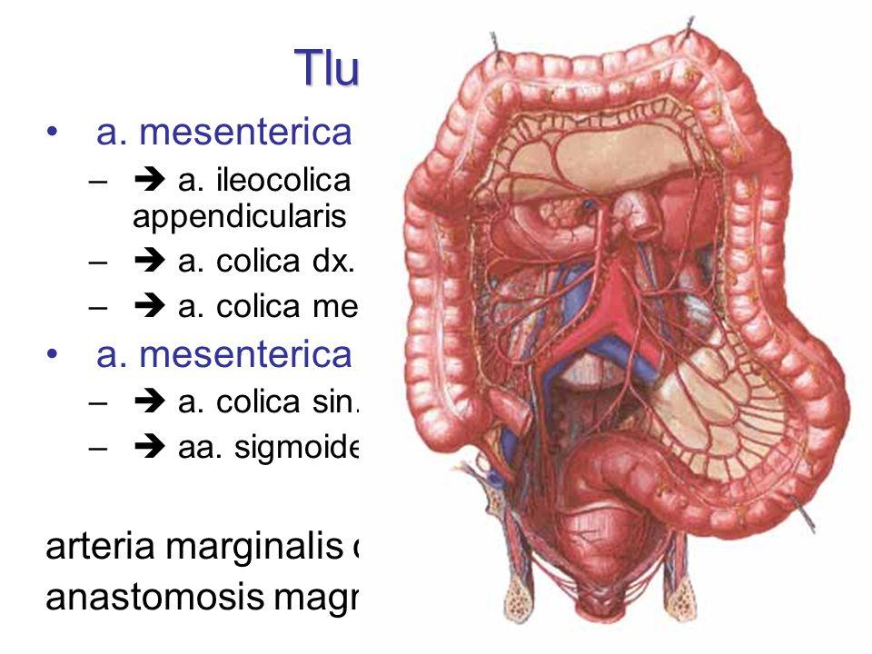 Tlusté střevo a. mesenterica sup. a. mesenterica inf.