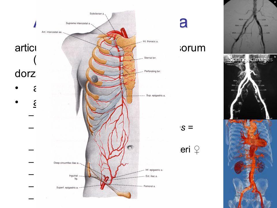 Arteria iliaca externa