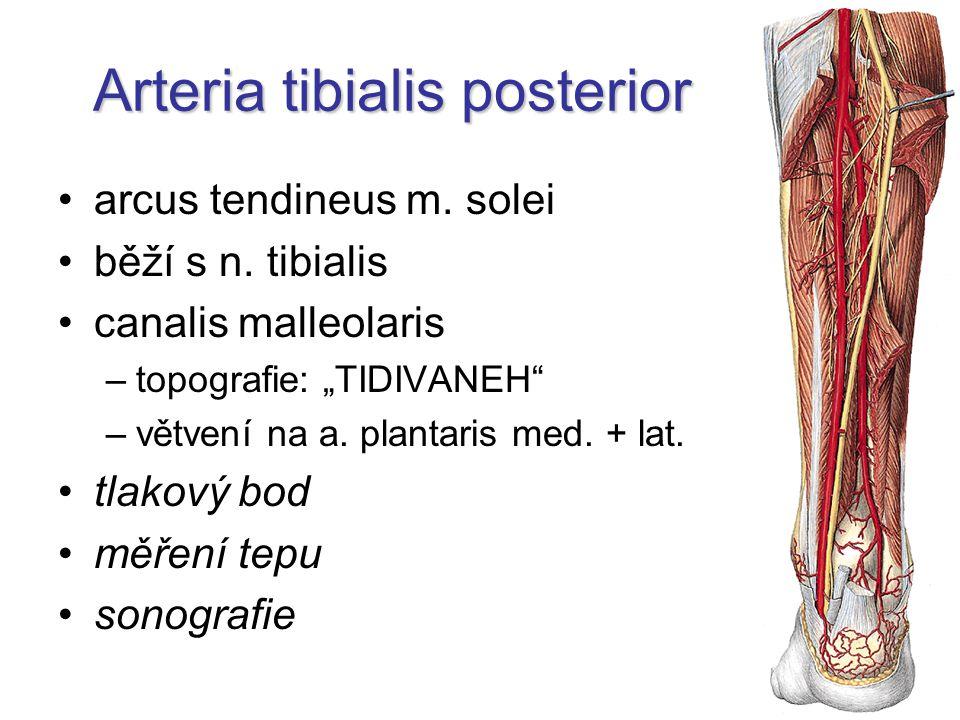 Arteria tibialis posterior