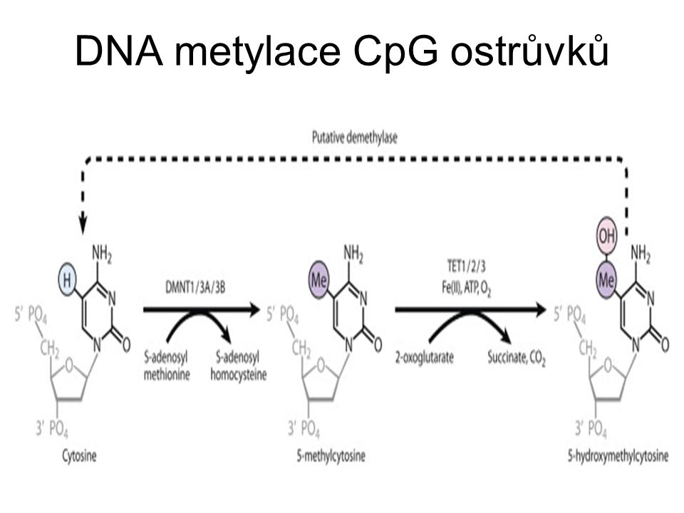 DNA metylace CpG ostrůvků