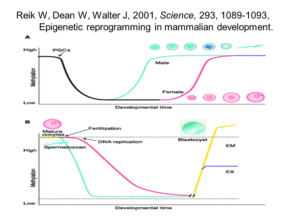 Reik W, Dean W, Walter J, 2001, Science, 293, 1089-1093, Epigenetic reprogramming in mammalian development.