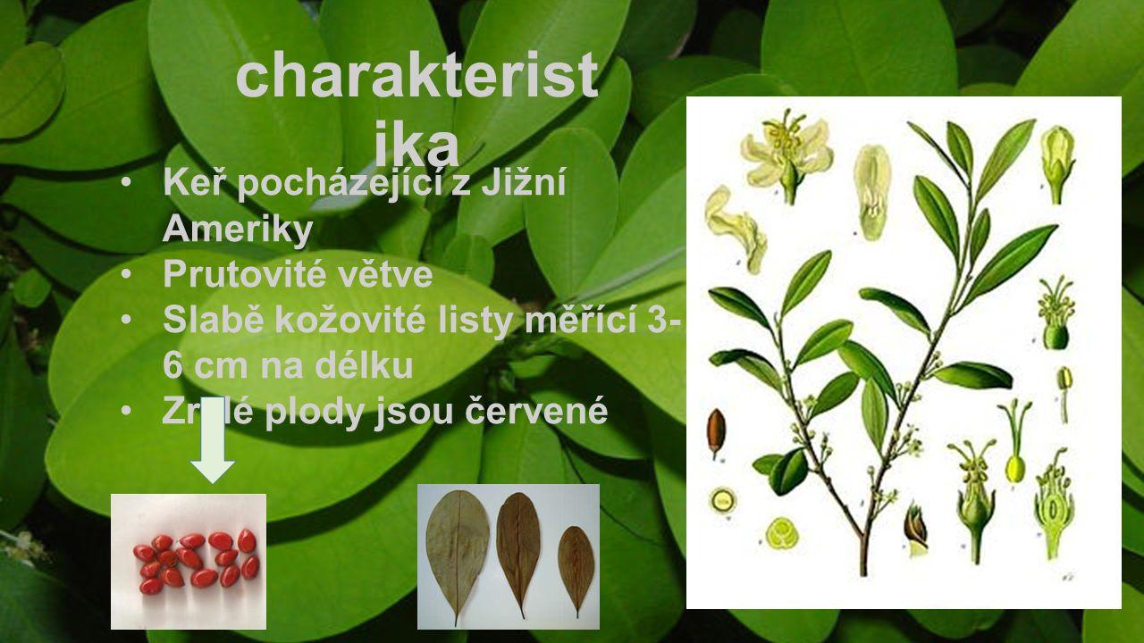 charakteristika Keř pocházející z Jižní Ameriky Prutovité větve
