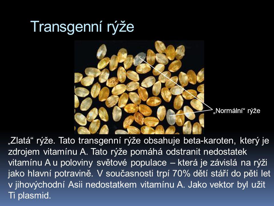 """Transgenní rýže """"Normální rýže"""