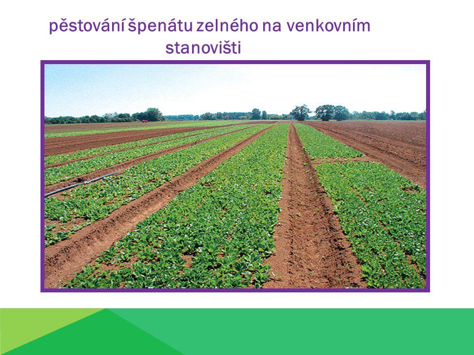 stanovišti pěstování špenátu zelného na venkovním