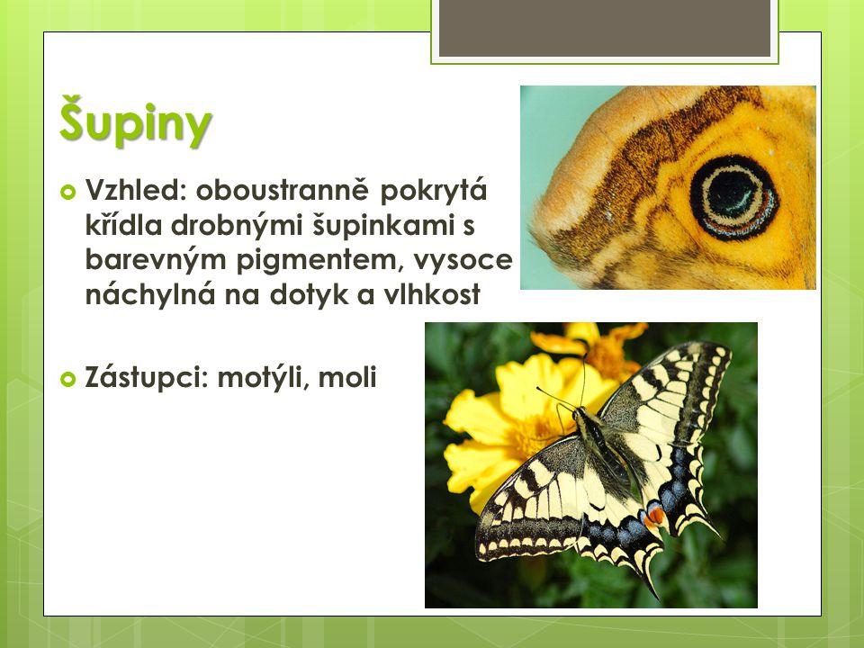 Šupiny Vzhled: oboustranně pokrytá křídla drobnými šupinkami s barevným pigmentem, vysoce náchylná na dotyk a vlhkost.