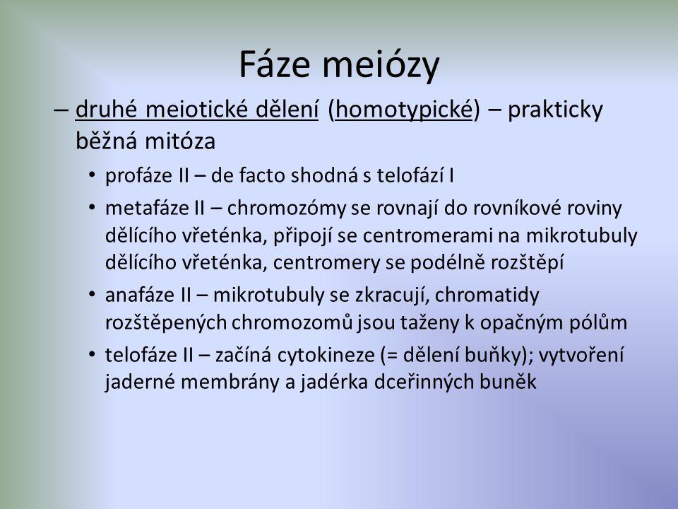 Fáze meiózy druhé meiotické dělení (homotypické) – prakticky běžná mitóza. profáze II – de facto shodná s telofází I.