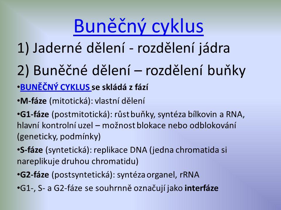Buněčný cyklus 1) Jaderné dělení - rozdělení jádra