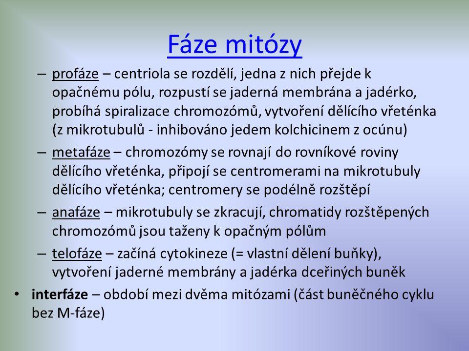 Fáze mitózy