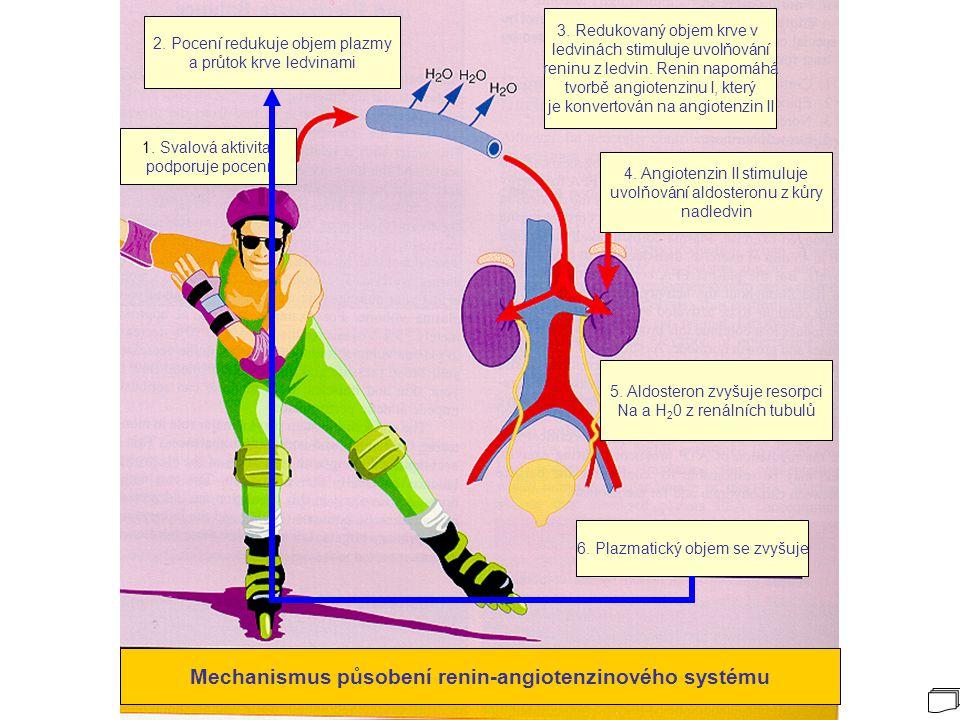 Mechanismus působení renin-angiotenzinového systému
