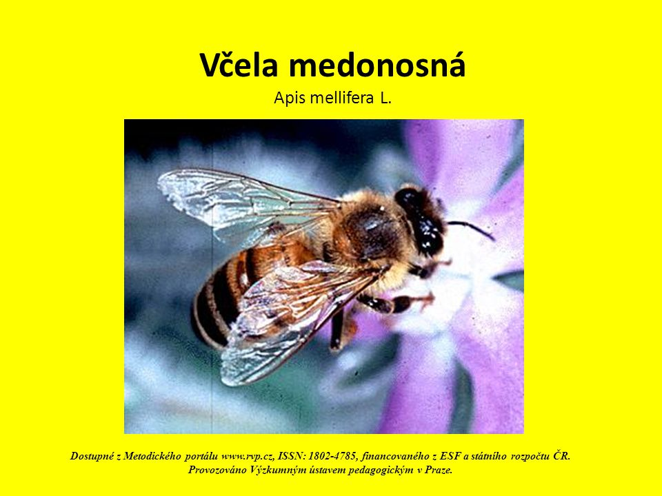 Včela medonosná Apis mellifera L.