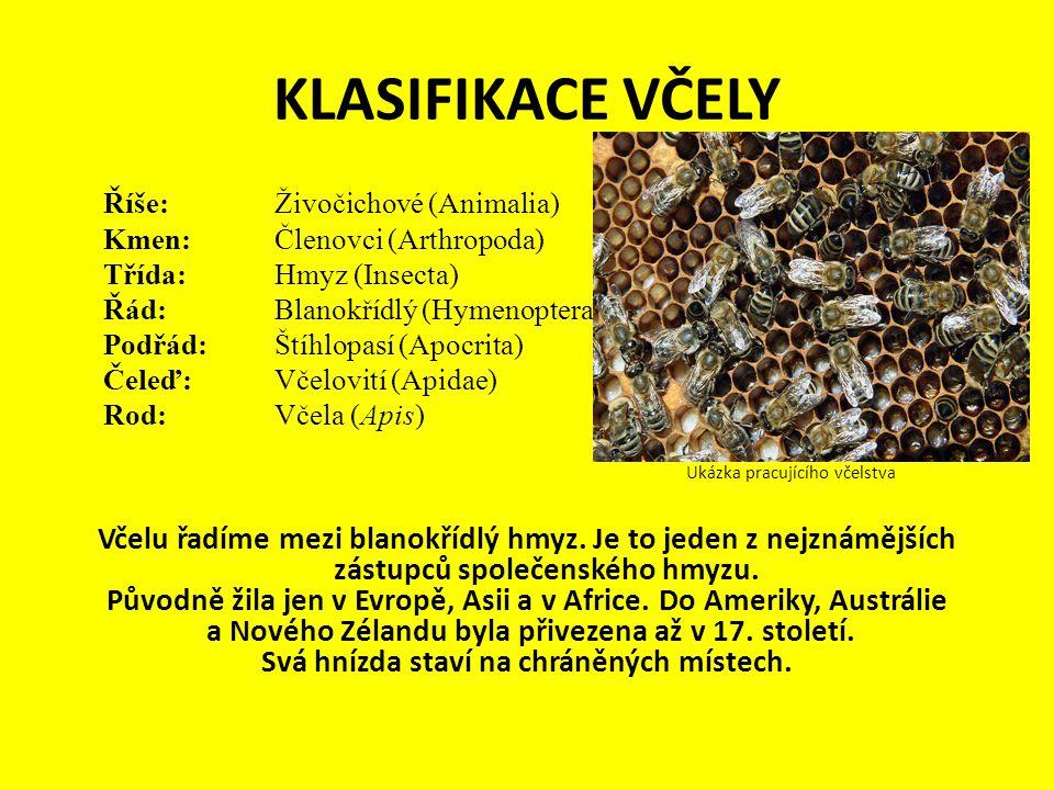 KLASIFIKACE VČELY Říše: Živočichové (Animalia)