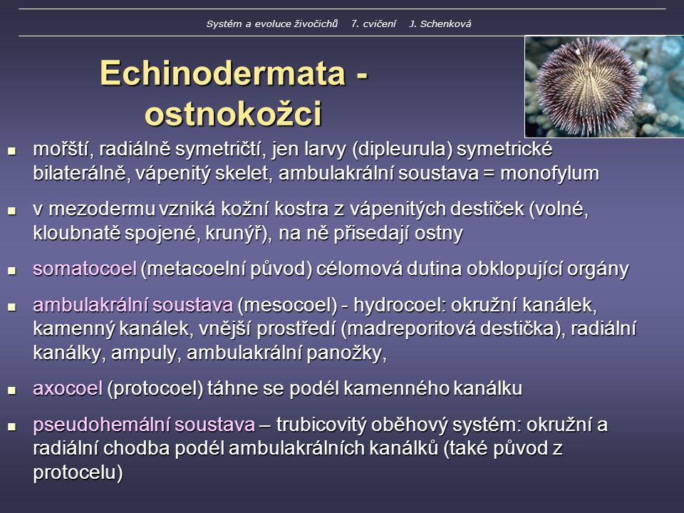 Echinodermata - ostnokožci