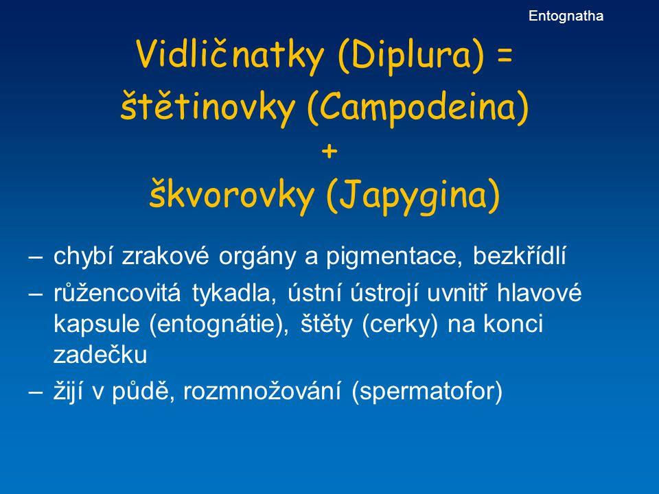 Vidličnatky (Diplura) = štětinovky (Campodeina) + škvorovky (Japygina)
