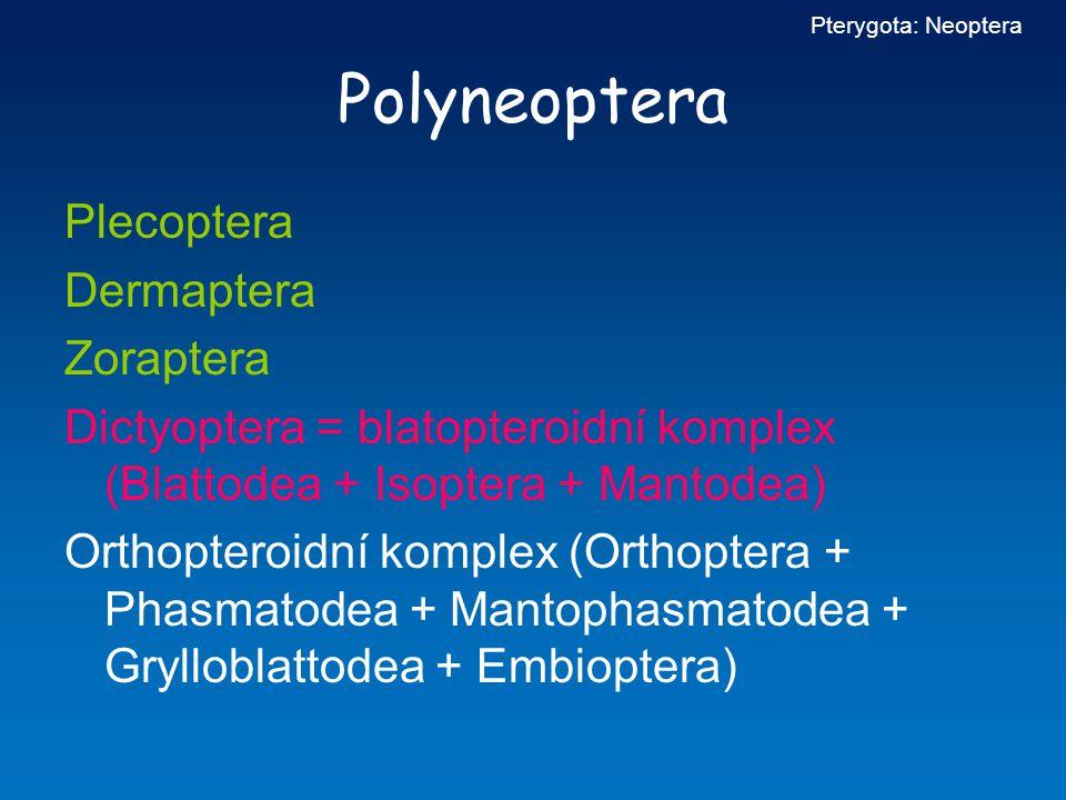 Polyneoptera Plecoptera Dermaptera Zoraptera