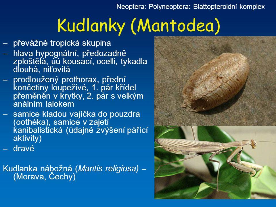 Neoptera: Polyneoptera: Blattopteroidní komplex