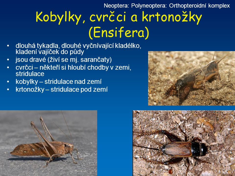 Kobylky, cvrčci a krtonožky (Ensifera)