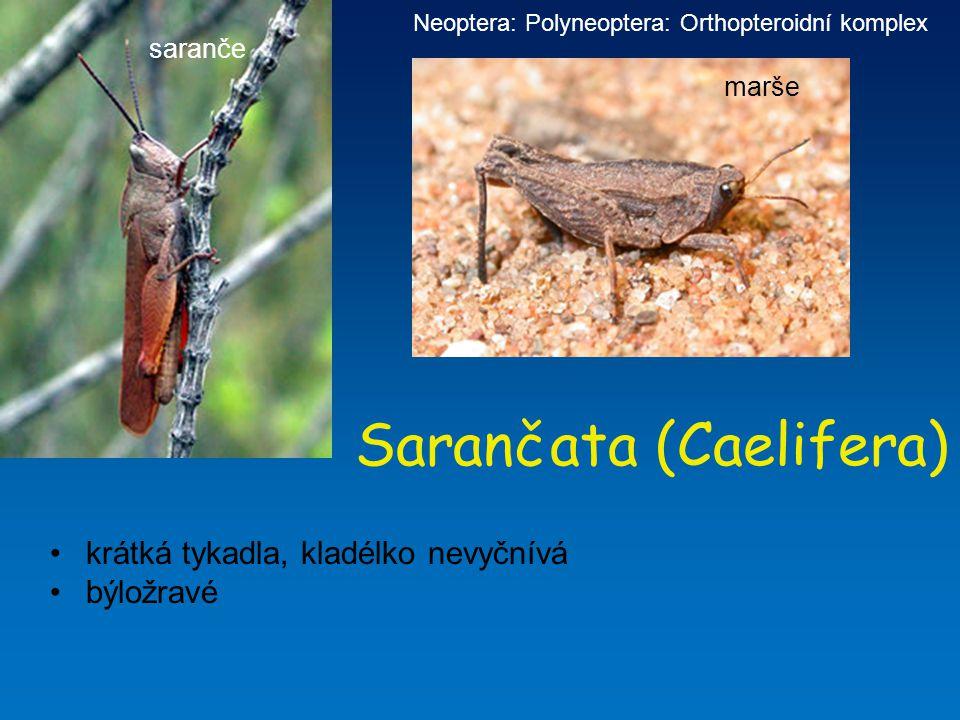 Sarančata (Caelifera)