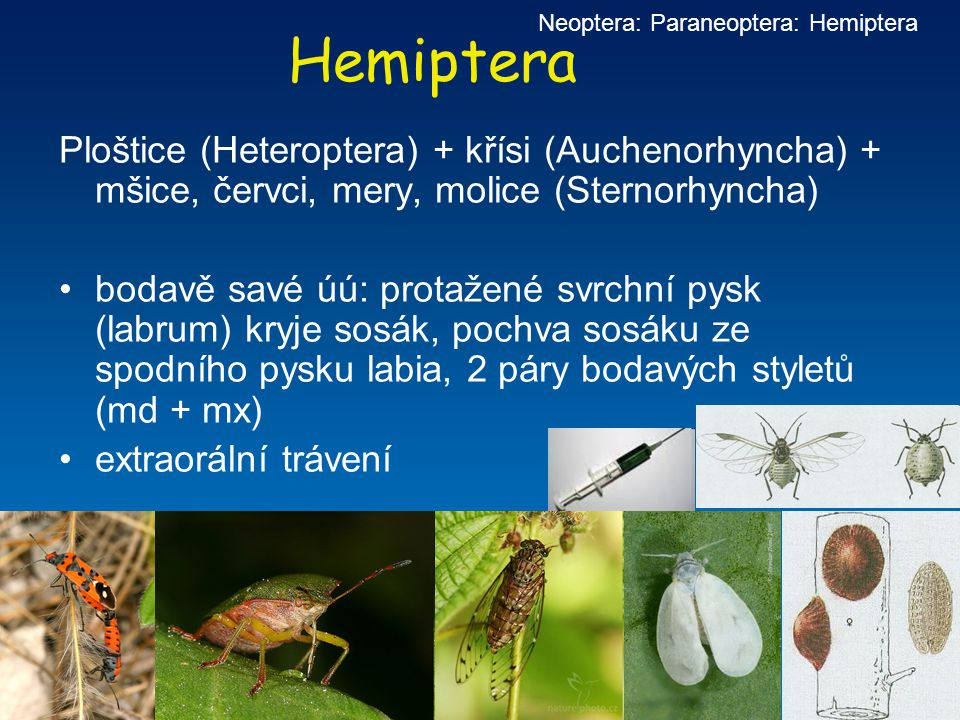 Neoptera: Paraneoptera: Hemiptera
