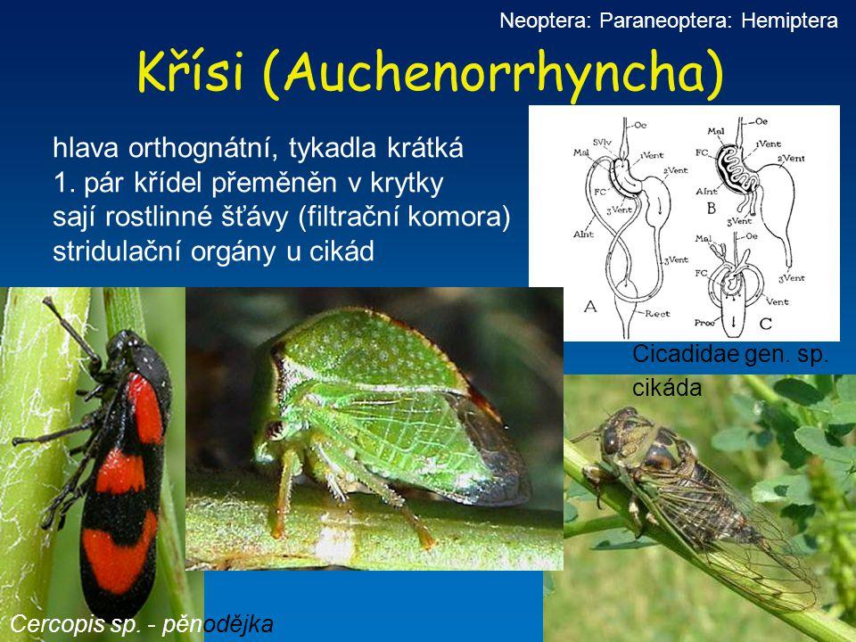 Křísi (Auchenorrhyncha)