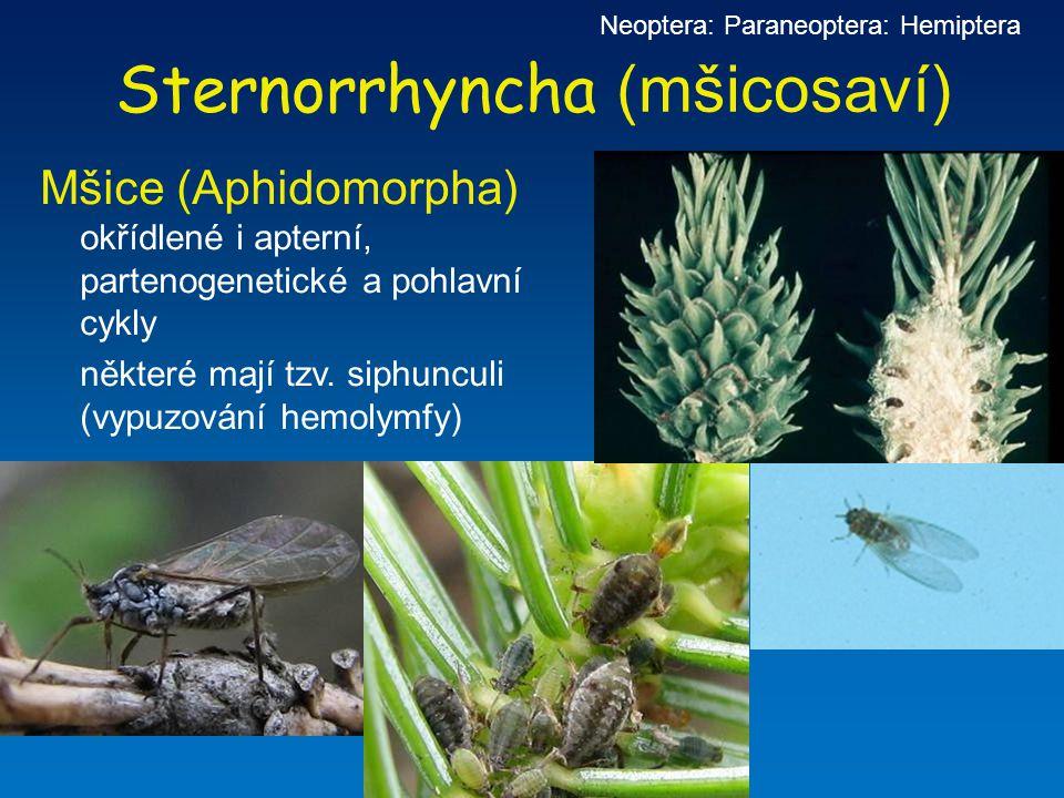 Sternorrhyncha (mšicosaví)