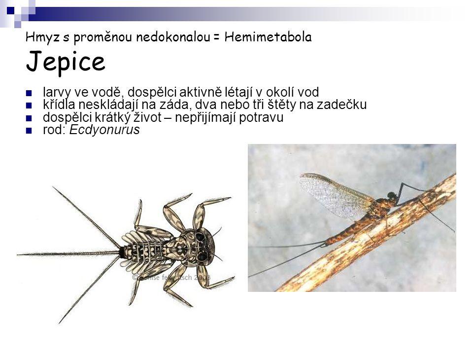 Hmyz s proměnou nedokonalou = Hemimetabola Jepice