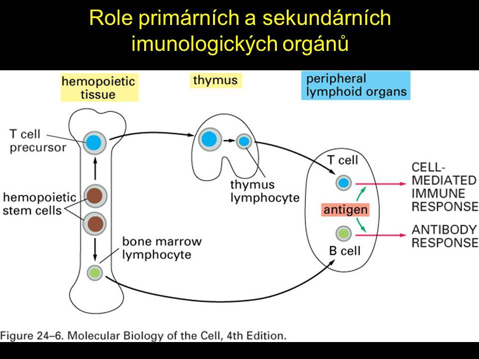 Role primárních a sekundárních imunologických orgánů
