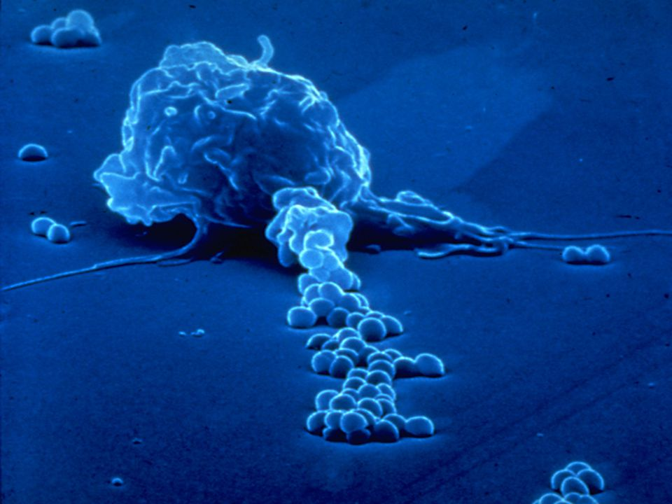 A macrophage extends a semiliquid projection (a so-called pseudopodium) towards some bacteria in the foreground.