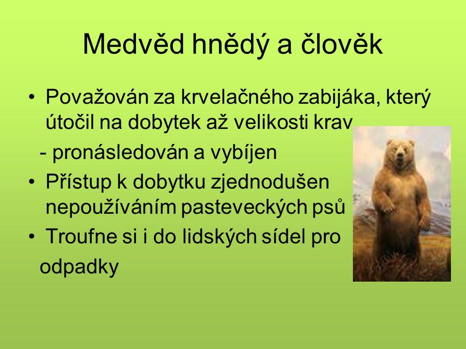 Medvěd hnědý a člověk Považován za krvelačného zabijáka, který útočil na dobytek až velikosti krav.