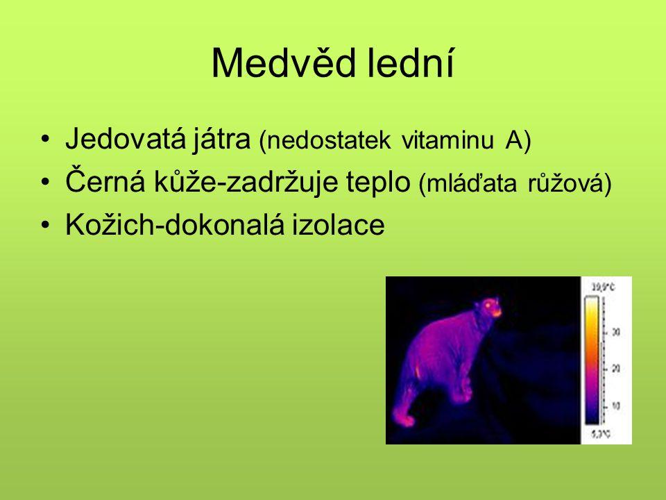 Medvěd lední Jedovatá játra (nedostatek vitaminu A)