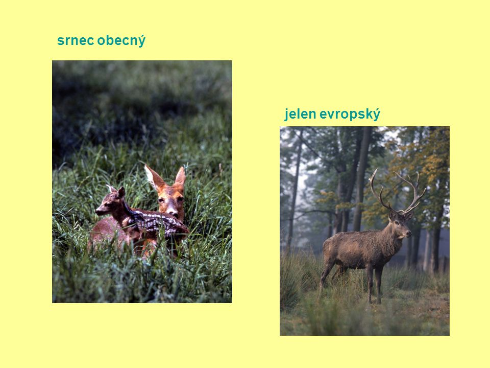 srnec obecný jelen evropský