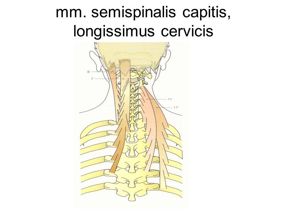 mm. semispinalis capitis, longissimus cervicis