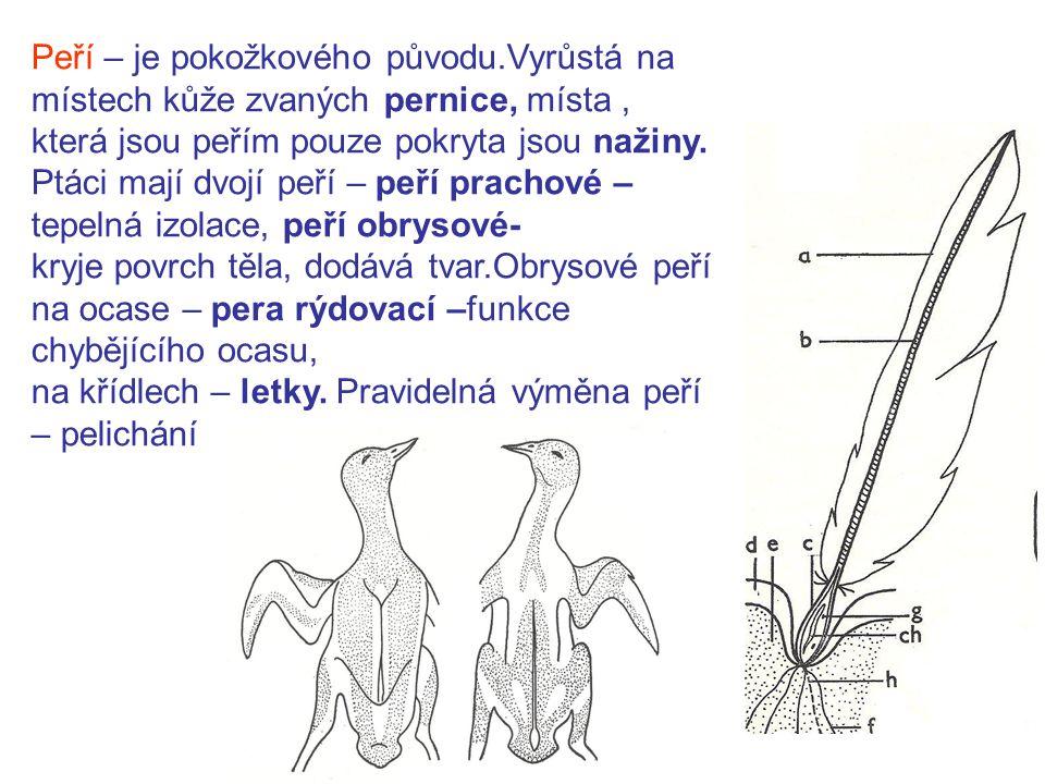 Peří – je pokožkového původu
