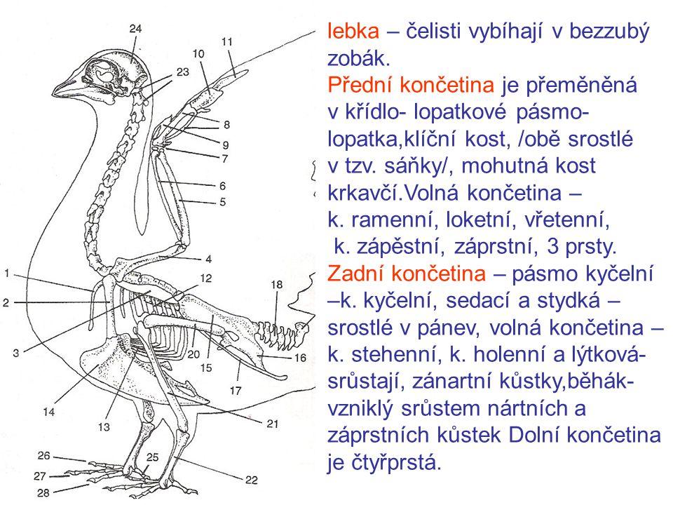lebka – čelisti vybíhají v bezzubý zobák.