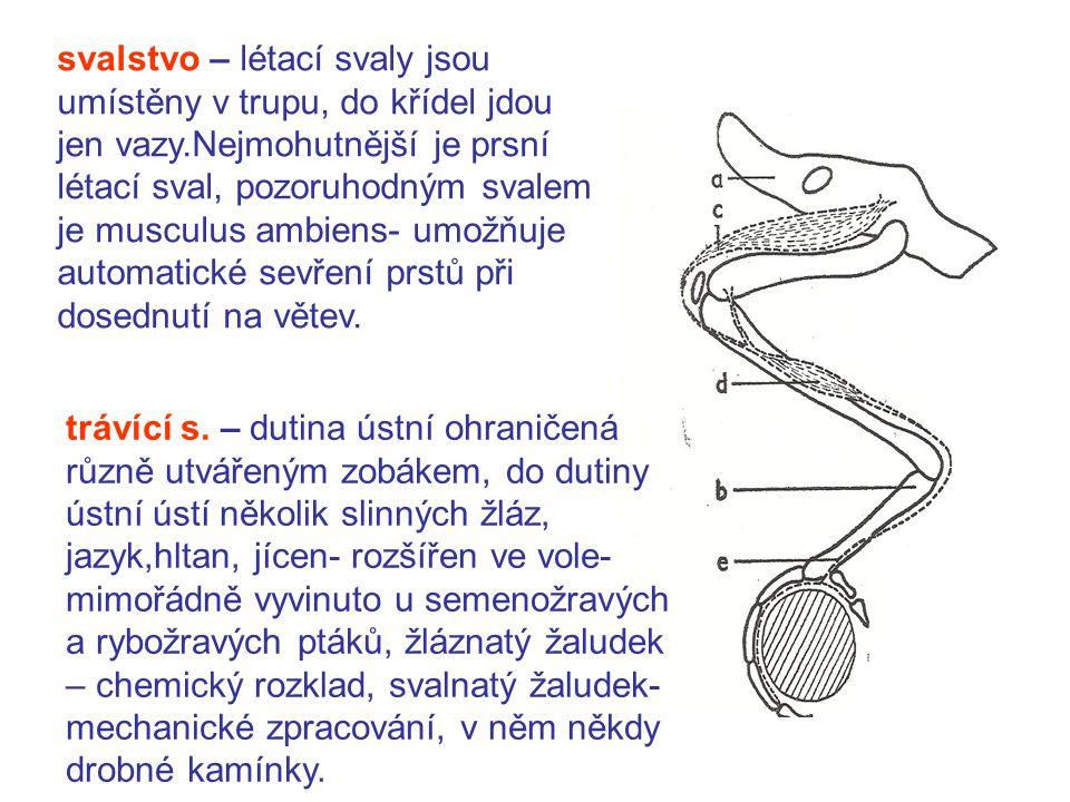 svalstvo – létací svaly jsou umístěny v trupu, do křídel jdou jen vazy