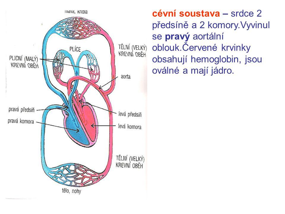 cévní soustava – srdce 2 předsíně a 2 komory