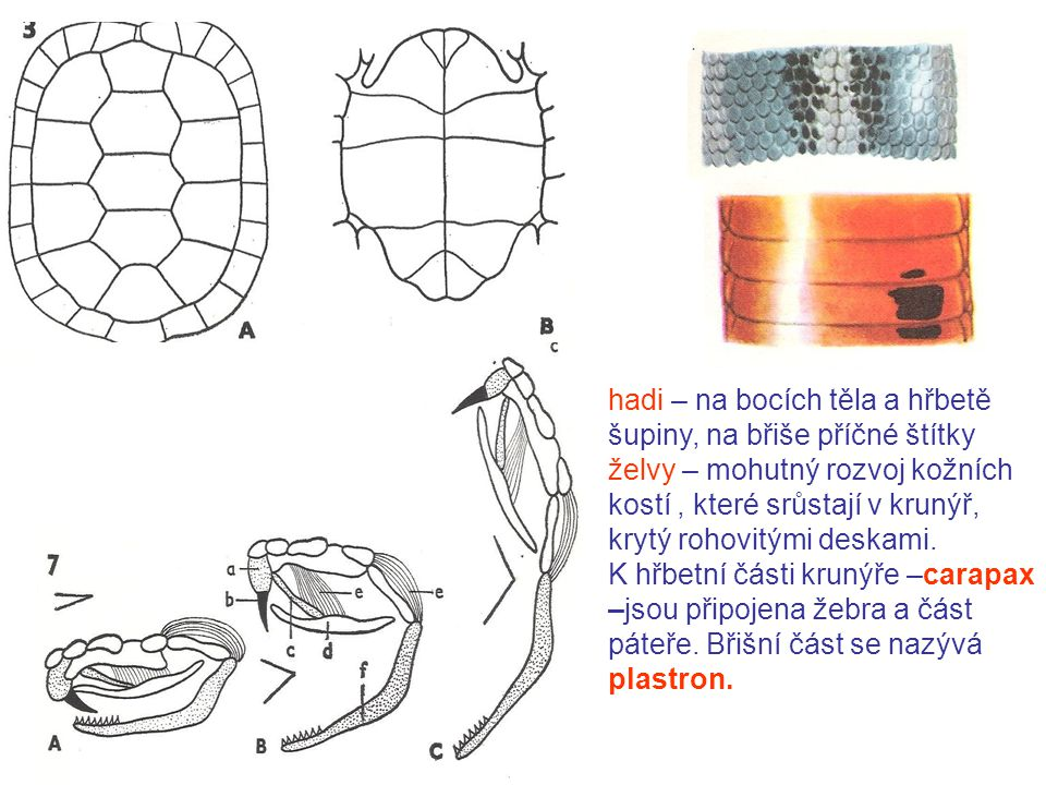 hadi – na bocích těla a hřbetě šupiny, na břiše příčné štítky
