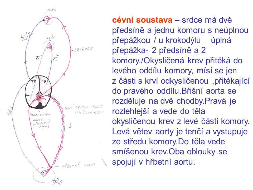 cévní soustava – srdce má dvě předsíně a jednu komoru s neúplnou přepážkou / u krokodýlů úplná přepážka- 2 předsíně a 2 komory./Okysličená krev přitéká do levého oddílu komory, mísí se jen z části s krví odkysličenou ,přitékající do pravého oddílu.Břišní aorta se rozděluje na dvě chodby.Pravá je rozlehlejší a vede do těla okysličenou krev z levé části komory.