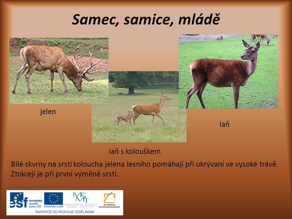Samec, samice, mládě jelen laň laň s kolouškem