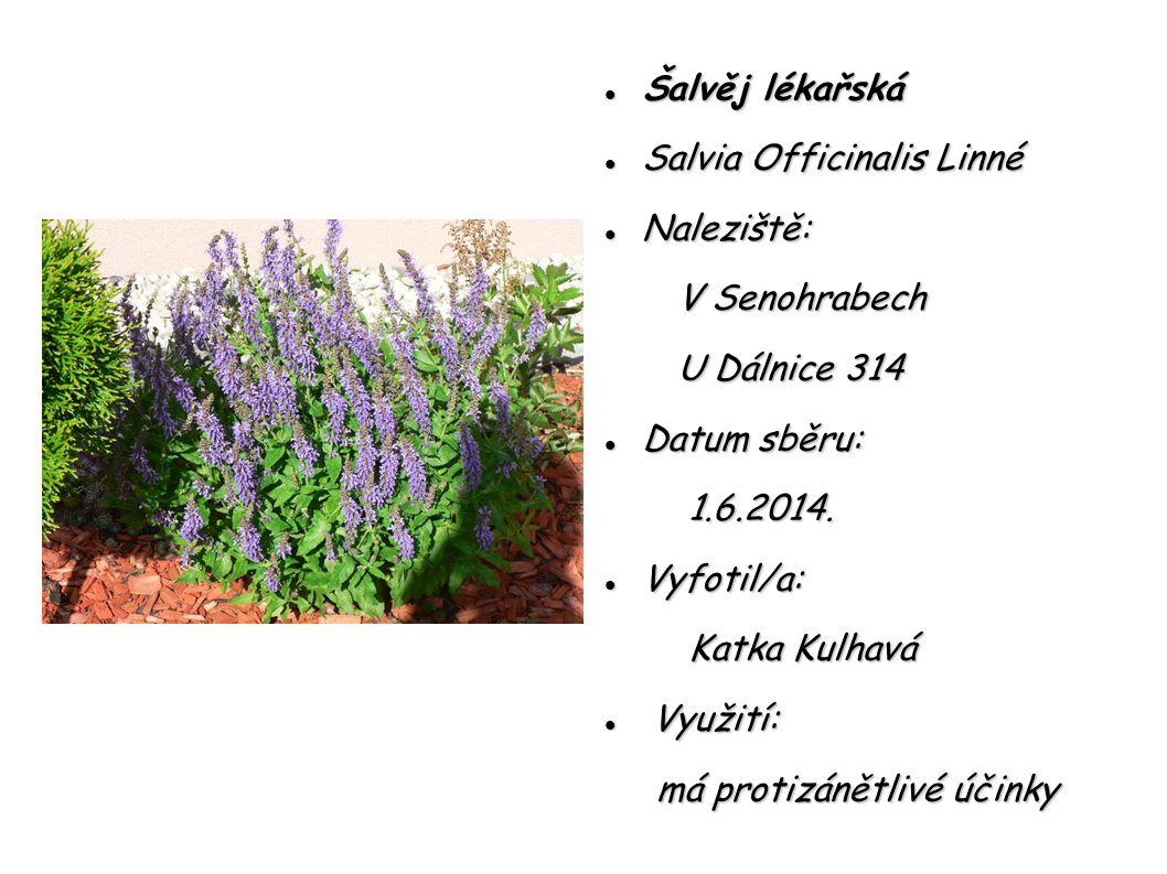 Šalvěj lékařská Salvia Officinalis Linné. Naleziště: V Senohrabech. U Dálnice 314. Datum sběru: