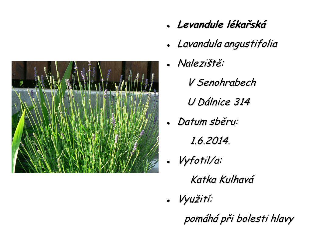 Levandule lékařská Lavandula angustifolia. Naleziště: V Senohrabech. U Dálnice 314. Datum sběru: