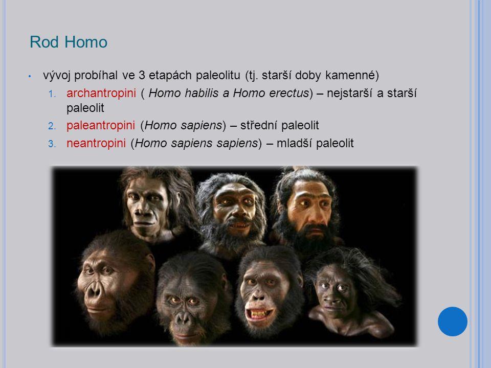 Rod Homo vývoj probíhal ve 3 etapách paleolitu (tj. starší doby kamenné) archantropini ( Homo habilis a Homo erectus) – nejstarší a starší paleolit.