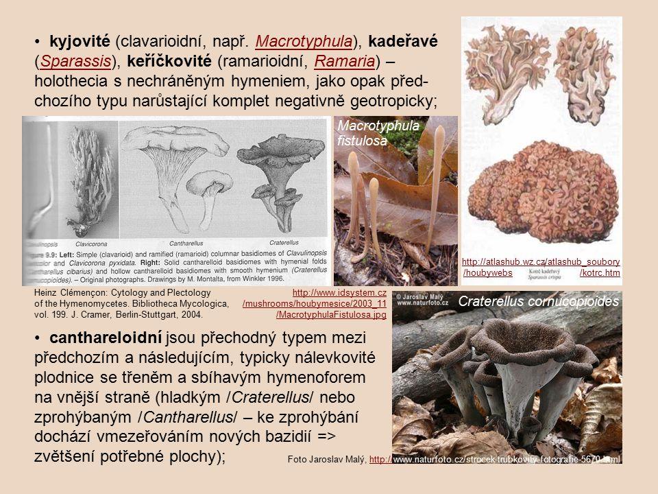 plodnice se třeněm a sbíhavým hymenoforem