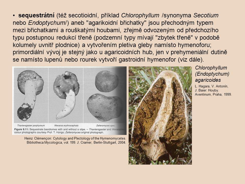 • sequestrátní (též secotioidní, příklad Chlorophyllum /synonyma Secotium nebo Endoptychum/) aneb agarikoidní břichatky jsou přechodným typem mezi břichatkami a rouškatými houbami, zřejmě odvozeným od předchozího typu postupnou redukcí třeně (podzemní typy mívají zbytek třeně v podobě kolumely uvnitř plodnice) a vytvořením pletiva gleby namísto hymenoforu; primordiální vývoj je stejný jako u agaricoidních hub, jen v prehymeniální dutině se namísto lupenů nebo rourek vytvoří gastroidní hymenofor (viz dále).