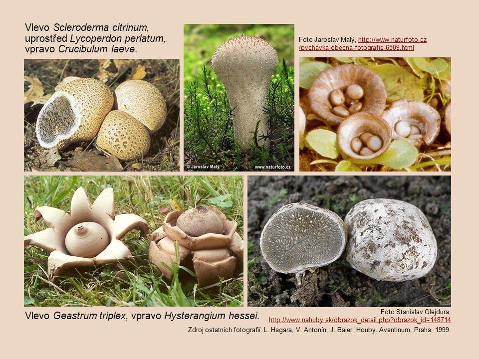 Vlevo Scleroderma citrinum, uprostřed Lycoperdon perlatum,